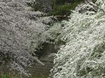 f0679 雪柳と桜