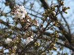 f1039 今日の桜