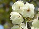 f0696 緑の桜