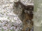 f0697 猫と桜絨毯