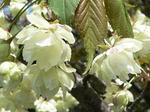 f0715 白い桜