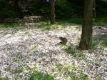 f0717 桜絨毯と猫