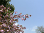 f0718 八重桜