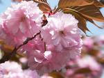f0719 桜餅が食べたくなる気分