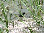 f0720 水鳥の雛