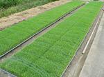 f0750 稲の苗